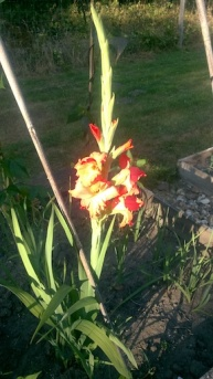 Gladioli 1