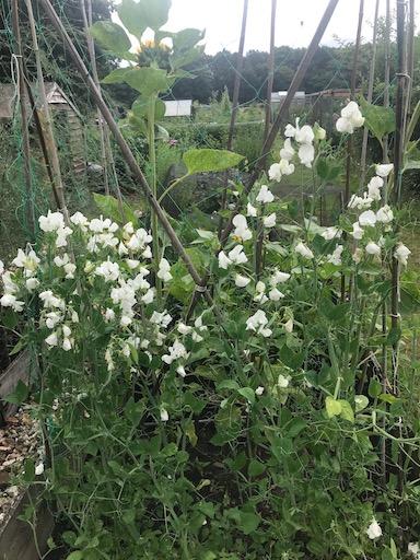 White sweet peas